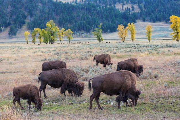 Bufalo selvatico nel parco nazionale di yellowstone, usa