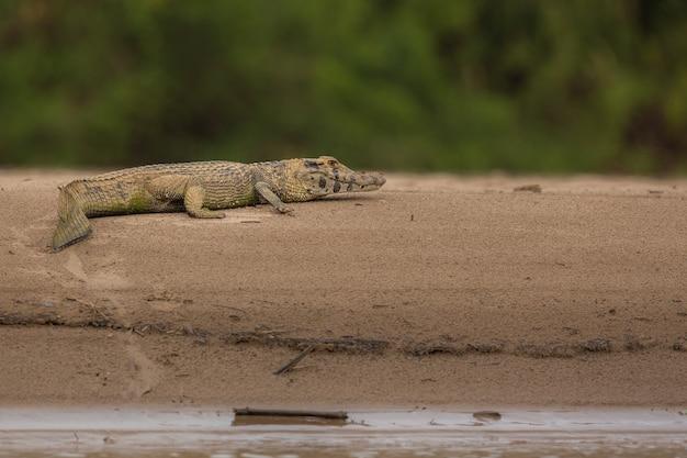 Caimano selvaggio nell'habitat naturale brasile selvaggio fauna selvatica brasiliana pantanal