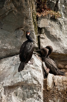 Cormorani selvaggi nella tempesta argentina