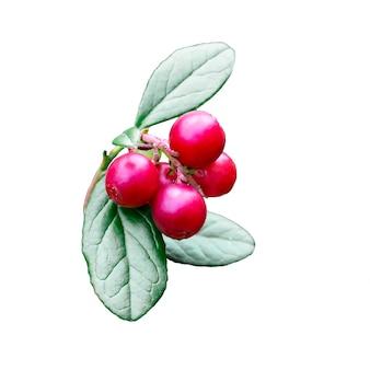 Mirtillo rosso selvatico, mirtillo rosso con foglie con foglie su un ramo, isolato su sfondo bianco