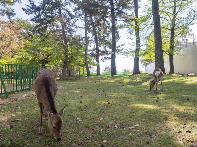 Cervi selvatici nel parco di nara in giappone. i cervi sono il simbolo della più grande attrazione turistica di nara.