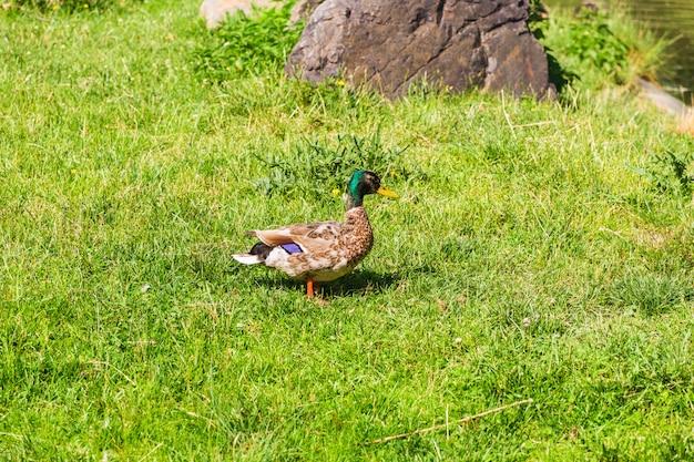 Anatra selvatica sull'erba
