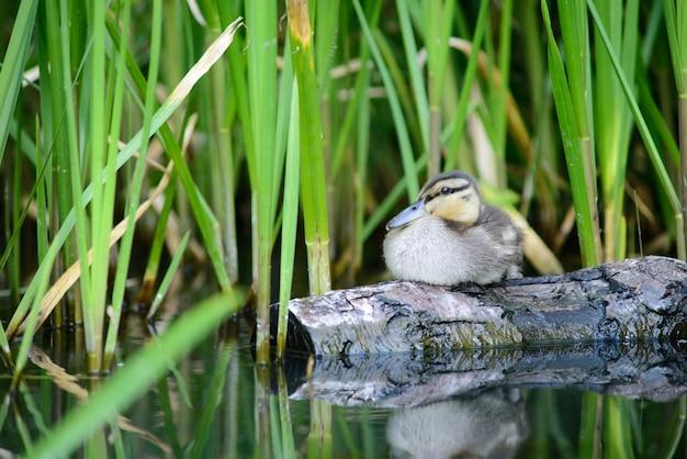 Anatra selvatica sul registro sullo stagno, uccello selvatico si siede sul legname vicino canne