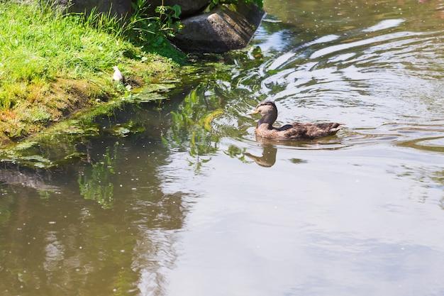 Nuoto dell'anatra selvatica su un lago della montagna