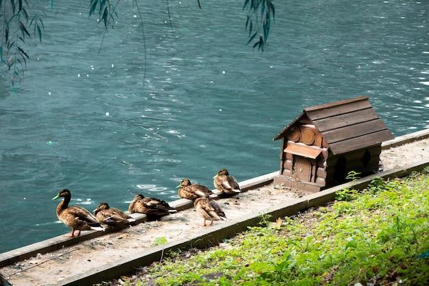 Anatre selvatiche vicino all'acqua accanto a una piccola casa decorativa in legno casa per anatre lago decorativo