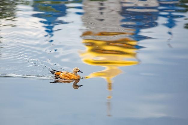 Anatre selvatiche nel parco sulla superficie dell'acqua e sul prato