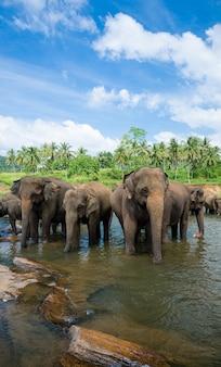Elefanti selvatici in un bellissimo paesaggio in sri lanka