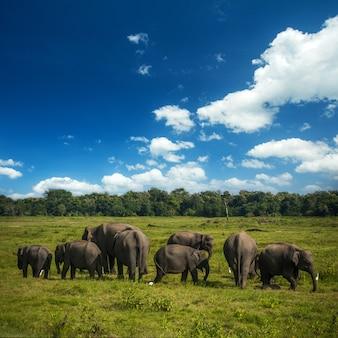 Elefanti selvaggi nello sri lanka