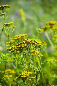 Campo selvaggio di fiori gialli di close-up all'aperto