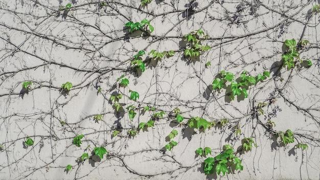 Uva selvatica sul muro. sfondo naturale con vite.