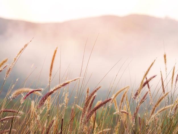Campi di fiori di erba selvatica e nebbia al mattino. sfondo dorato alba o tramonto.
