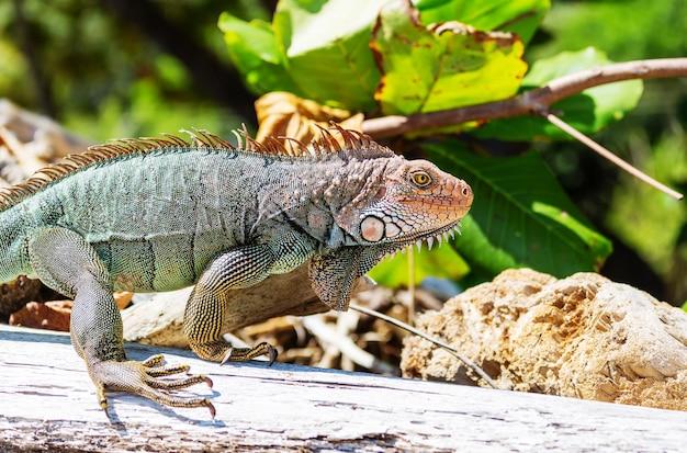 Iguana verde selvatica in costa rica