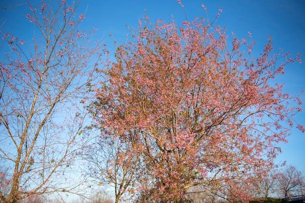 Wild himalayan cherry blossom, bel fiore rosa sakura al paesaggio invernale