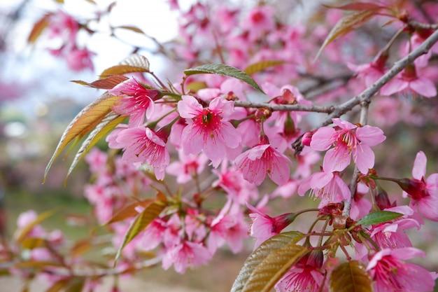 Fiore selvaggio della ciliegia dell'himalaya. fiore rosa sull'albero