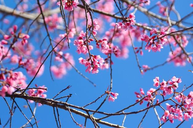 Fiori selvaggi della ciliegia dell'himalaya o sakura attraverso cielo blu