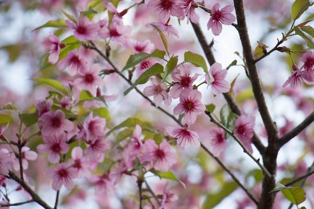 Ciliegia himalayana selvaggia (prunus cerasoides) in chiangmai, tailandia