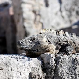 Iguana selvaggia sulla roccia sotto il sole in messico
