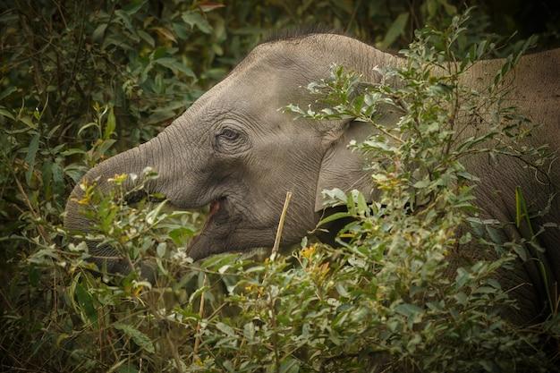 Maschio selvaggio dell'elefante indiano con nell'habitat naturale nell'india settentrionale