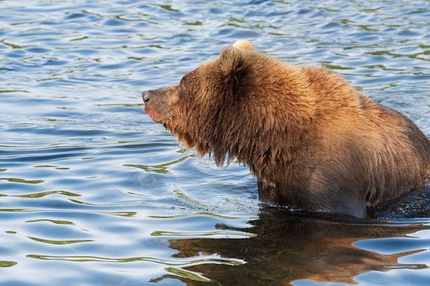 Orso bruno selvaggio della kamchatka in piedi nel fiume, guardandosi intorno, pescando salmone rosso durante la deposizione delle uova