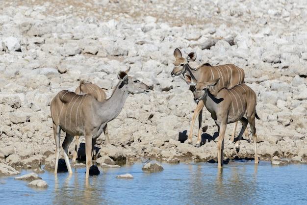Antilopi selvatiche di kudu nella savana africana