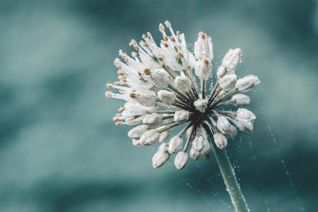 Fiore bianco del porro selvaggio sul blu