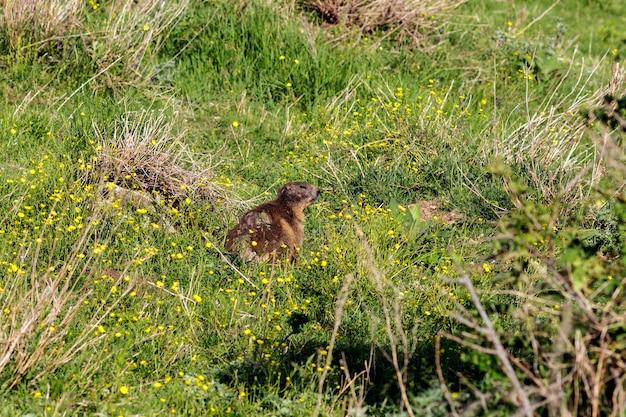 Una marmotta selvatica nel suo habitat naturale