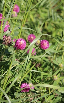 Fiore di trifoglio rosa prato selvaggio in erba verde in campo alla luce solare morbida naturale, foto vintage all'aperto autunnale con colori pastello e atmosfera romantica