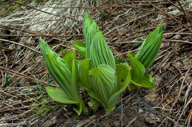 Pianta insetticida velenosa medicinale selvaggia. elleboro lobel (lat. veratrum lobelianum).