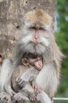 Famiglia di scimmie selvatiche nella sacra foresta delle scimmie a ubud, isola di bali, indonesia. punto di riferimento di viaggio del parco della foresta delle scimmie e sito di destinazione turistica in asia, dove le scimmie vivono in un ambiente naturale