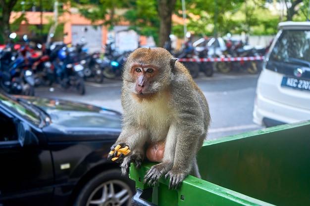 La scimmia selvatica sta mangiando delle patatine fritte che ha trovato nel cestino. non filmarmi mentre sto mangiando. la scimmia mangia fast food dal cestino.
