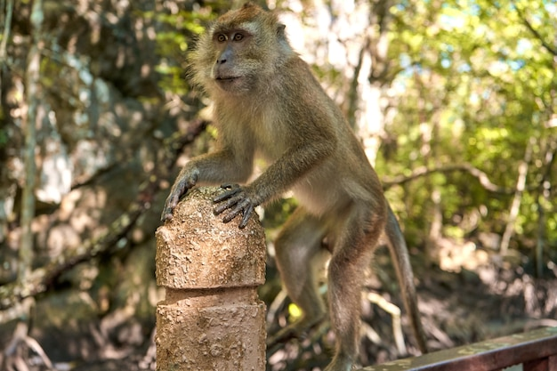 Una scimmia selvatica siede su un ponte nella foresta di mangrovie.