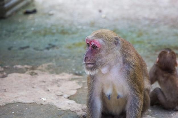 Scimmie selvagge, babbuini in tailandia