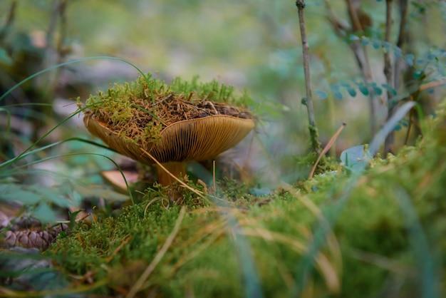 Fungo selvatico con cappuccio marrone nella foresta umida, primo piano