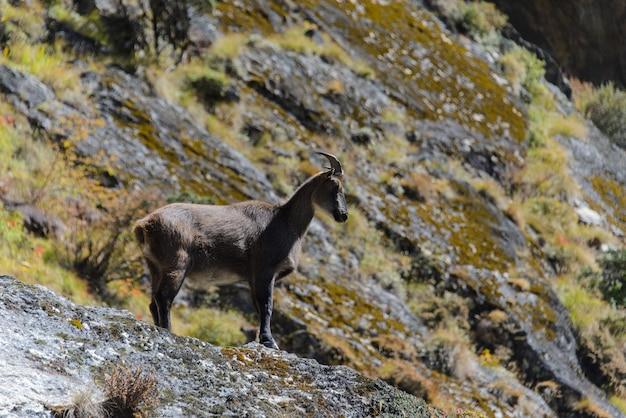 Cervi muschiati selvaggi nel nepal Foto Premium