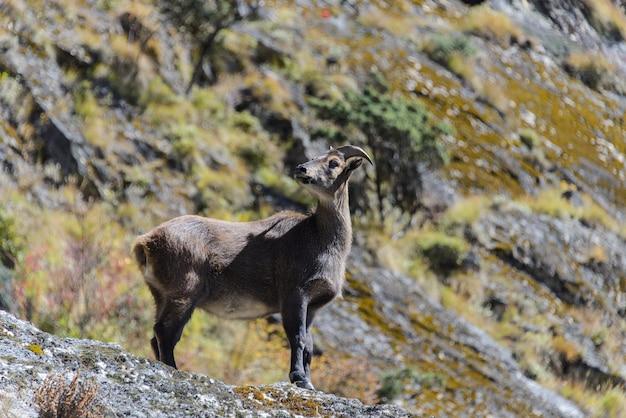 Cervi muschiati selvaggi nel nepal