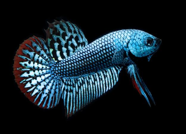 Betta splendens natura selvaggia o pesce combattente siamese selvaggio.