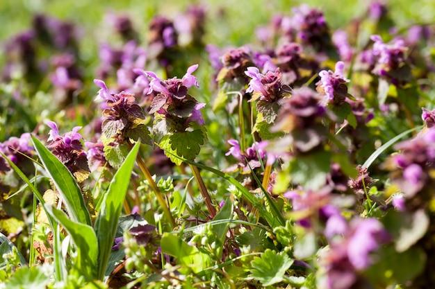 Primo piano delle erbacce delle piante di ortica selvatica, ortica che fiorisce nella stagione primaverile con fiori viola