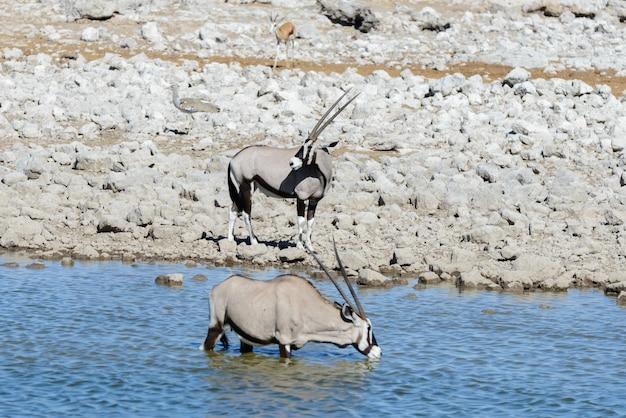 Acqua potabile dell'antilope dell'orice selvaggio in pozza d'acqua nella savanna africana
