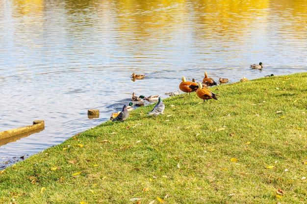 Piccioni selvatici con anatre sul prato verde della riva dello stagno nella soleggiata giornata autunnale