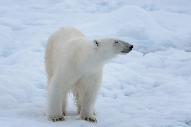 Orso polare selvaggio sul ghiaccio del pacchetto nella fine del mare artico su