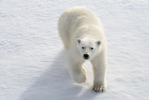 Orso polare selvaggio su impacco di ghiaccio nell'artico