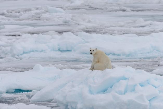 Orso polare selvaggio che si siede sul ghiaccio del pacchetto