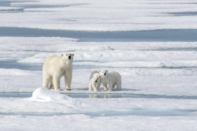 Orso polare selvaggio ursus maritimus madre e cucciolo sulla banchisa