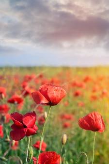 Campo di papaveri selvatici da vicino. prato di papaveri rossi selvatici con un cielo tempestoso scuro. i fiori rossi selvaggi si chiudono su.