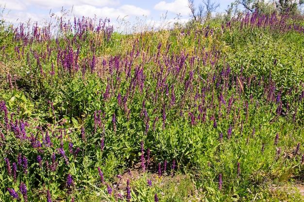 Fiori di salvia viola selvatica sul prato