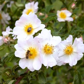 Arbusto selvatico del cinorrodo di canina della rosa nel giardino. le api degli insetti raccolgono il polline