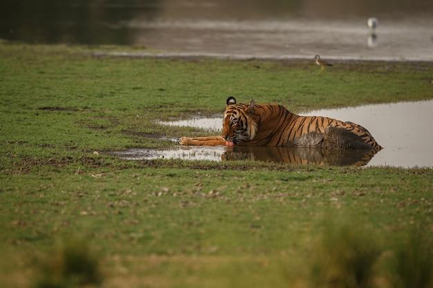 Tigre reale selvaggia del bengala nell'habitat naturale del parco nazionale di ranthambhore