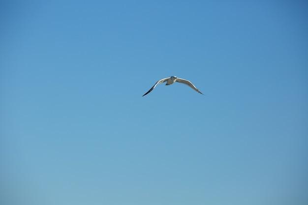 Gabbiano selvatico nel fondo naturale del cielo blu.