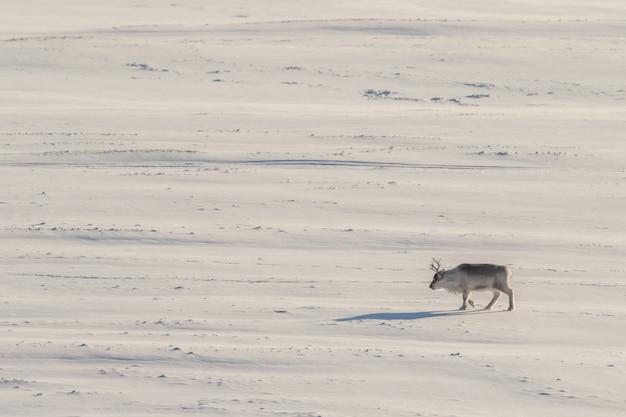 Renna selvaggia delle svalbard, rangifer tarandus platyrhynchus, che cammina da sola nella vasta tundra. svalbard, norvegia.