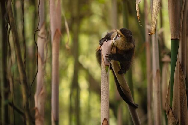 Scimmia d'oro selvaggia e molto rara nella foresta di bambù